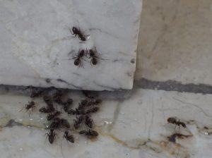 Schwarze Wegeameisen fressen Imidasect-Ants Gel